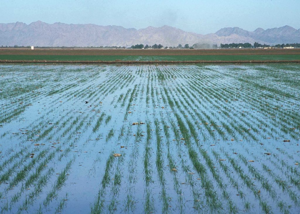 Flood irrigation in Yuma: Flooding fields has long been a common method of watering crops in the American west