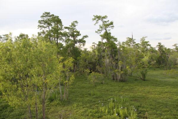 2019: Cypress Swamp near Destrehan, LA.